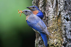 Eastern Bluebirds Stock Photo