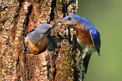 Eastern Bluebirds Stock Images