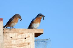 Eastern Bluebirds with Food Stock Images