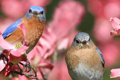 Eastern Bluebirds. Pair of Eastern Bluebirds (Sialia sialis) in a Dogwood tree with flowers Stock Photo