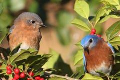 Eastern Bluebirds Stock Image