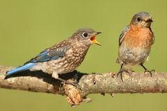 Eastern Bluebirds (Sialia sialis) Stock Image