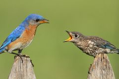 Eastern Bluebirds (Sialia sialis). Eastern Bluebird (Sialia sialis) with a baby on a fence Royalty Free Stock Images
