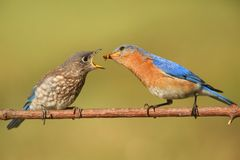 Eastern Bluebirds (Sialia sialis). Eastern Bluebird (Sialia sialis) feeding a baby on a branch with a green background Stock Images