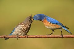 Eastern Bluebirds (Sialia sialis). Eastern Bluebird (Sialia sialis) feeding a baby on a branch with a green background Stock Photo