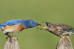 Eastern Bluebirds (Sialia sialis). Eastern Bluebird (Sialia sialis) feeding a baby on a fence with a green background Stock Photos