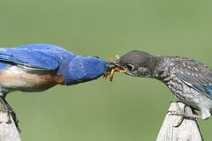 Eastern Bluebirds (Sialia sialis). Eastern Bluebird (Sialia sialis) feeding a baby on a fence with a green background Royalty Free Stock Photos