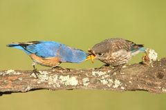 Eastern Bluebirds (Sialia sialis). Eastern Bluebird (Sialia sialis) feeding a baby on a log with a green background Stock Images