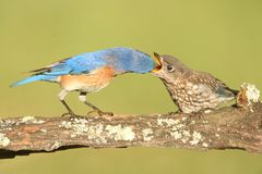 Eastern Bluebirds (Sialia sialis). Eastern Bluebird (Sialia sialis) feeding a baby on a log with a green background Royalty Free Stock Images