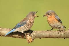 Eastern Bluebirds (Sialia sialis). Eastern Bluebird (Sialia sialis) feeding a baby on a log with a green background Stock Photo