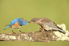 Eastern Bluebirds (Sialia sialis). Eastern Bluebird (Sialia sialis) feeding a baby on a log with a green background Royalty Free Stock Photos
