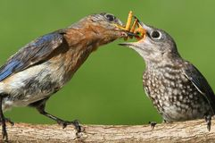 Eastern Bluebirds (Sialia sialis). Female Eastern Bluebird (Sialia sialis) feeding a baby on a log with a green background Royalty Free Stock Photo