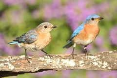 Eastern Bluebirds. (Sialia sialis) on a perch with flowers Stock Image