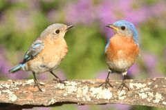 Eastern Bluebirds. (Sialia sialis) on a perch with flowers Royalty Free Stock Photography