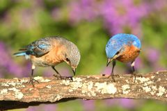 Eastern Bluebirds Royalty Free Stock Images
