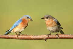 Eastern Bluebirds Stock Photos