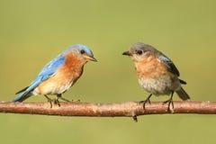 Eastern Bluebirds Stock Photos