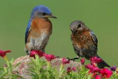 Eastern Bluebirds Royalty Free Stock Photo