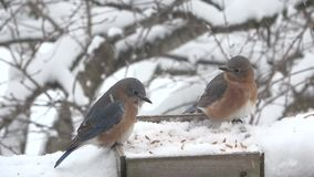 Eastern Bluebirds feeding in Snow storm stock footage