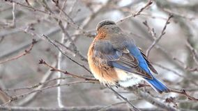 Female and Male Eastern Bluebird during winter stock footage
