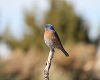 Eastern Bluerbird (Sialia sialis fulva) - the south-western subspecies. Eastern Bluerbird (Sialia sialis fulva) - the south-western Azure Bluebird subspecies Stock Photography