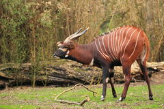 Eastern bongo. The adult eastern bongo in the grass royalty free stock images