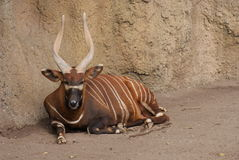 Eastern Bongo - Tragelaphus eurycerus isaaci Royalty Free Stock Photo