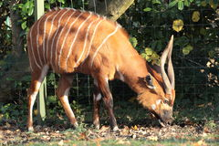 Eastern bongo. Stock Image