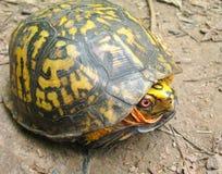 Eastern Box Turtle. (Terrapene carolina) pulled into shell stock photos