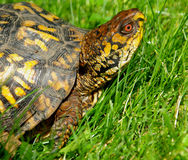 Eastern Box Turtle 3. This poor turtle was trying to cross 4 lane highway, We saved him and releave back into the forest Royalty Free Stock Photo