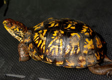 Eastern Box turtle. This poor turtle was trying to cross 4 lanes of highway royalty free stock images