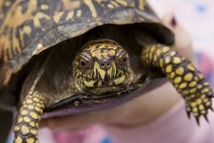 Eastern Box Turtle stock image
