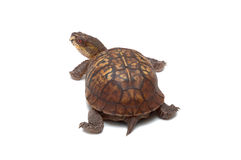 Eastern Box Turtle Royalty Free Stock Photos