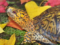 Eastern Box Turtle close-up. A close-up view of an Eastern Box Turtle (Terrapene carolina carolina) with moss and fall leaves in the background stock photos