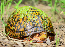 Eastern Box Turtle Royalty Free Stock Image