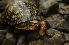 Eastern box turtle. Close up of the red eyes on an eastern box turtle. Northern virginia railroad tracks Creepy royalty free stock image