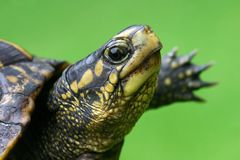 Eastern box turtle closeup. Closeup of an eastern box turtle against a green background stock image