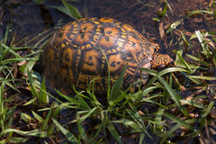 Eastern box turtle in grass Royalty Free Stock Photography