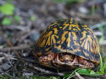 Eastern Box Turtle. Hiding in shell Royalty Free Stock Photo