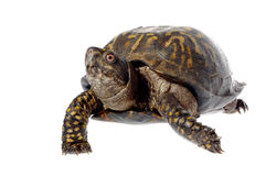 Eastern Box Turtle Isolated on White. Closeup of Eastern box turtle isolated on white royalty free stock photo