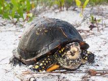 Eastern Box Turtle Living on a Florida Barrier Island. Close Up of a Eastern Box Turtle on a Florida Coastline Habitat royalty free stock photo