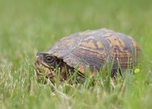 Eastern Box Turtle in New Jersey Royalty Free Stock Photo
