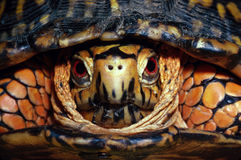 Eastern Box Turtle Portrait. Head-on portrait of a male Eastern Box Turtle Royalty Free Stock Images