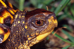 Eastern Box Turtle Portrait. Portrait of an Eastern Box Turtle, Profile stock photography