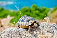 Eastern box turtle on rock. In Sithonia, Greece stock photo