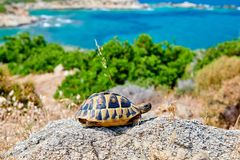 Eastern box turtle on rock. In Sithonia, Greece royalty free stock photos