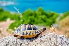 Eastern box turtle on rock. In Sithonia, Greece royalty free stock images