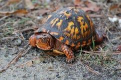 Eastern Box Turtle, Terrapene carolina. A brightly colored eastern box turtle, Terrapene carolina royalty free stock photography