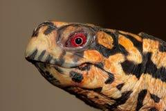 Eastern Box Turtle (Terrapene carolina). Closeup of an Eastern Box Turtle (Terrapene carolina royalty free stock images