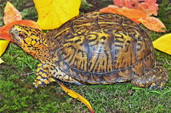 Eastern Box Turtle (Terrapene carolina carolina) Royalty Free Stock Photos